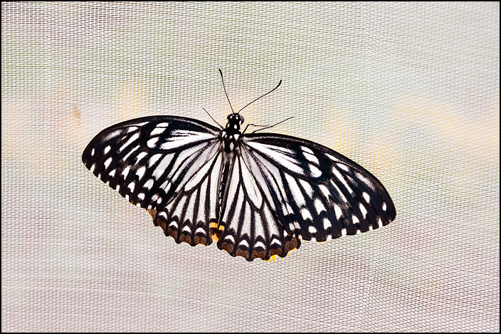 A white and black butterfly on a white fabric background.