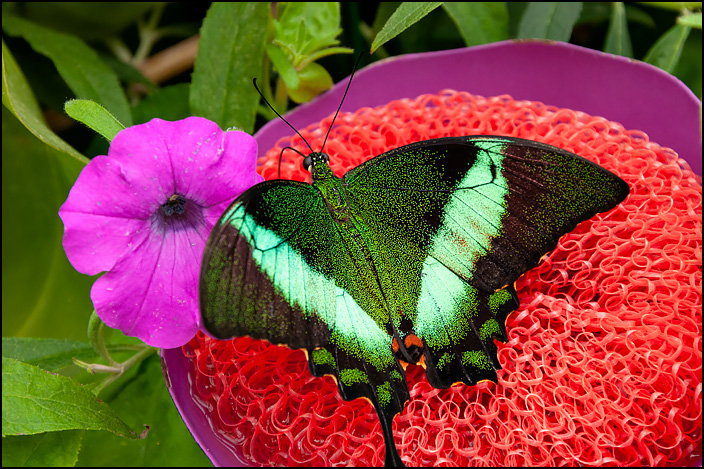 A black and green butterfly.