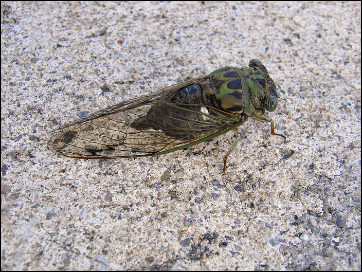 A large cicada on a concrete sidewalk in Fort Wayne, Indiana.