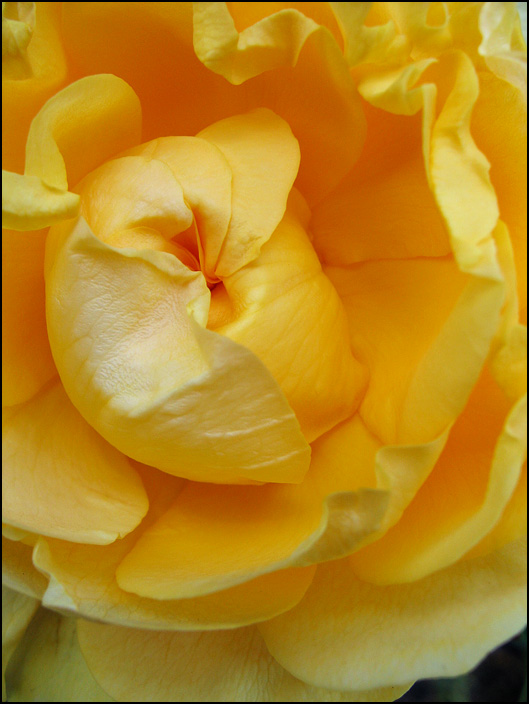 Closeup photograph of a yellow rose at the Lakeside Park Rose Gardens in Fort Wayne, Indiana.