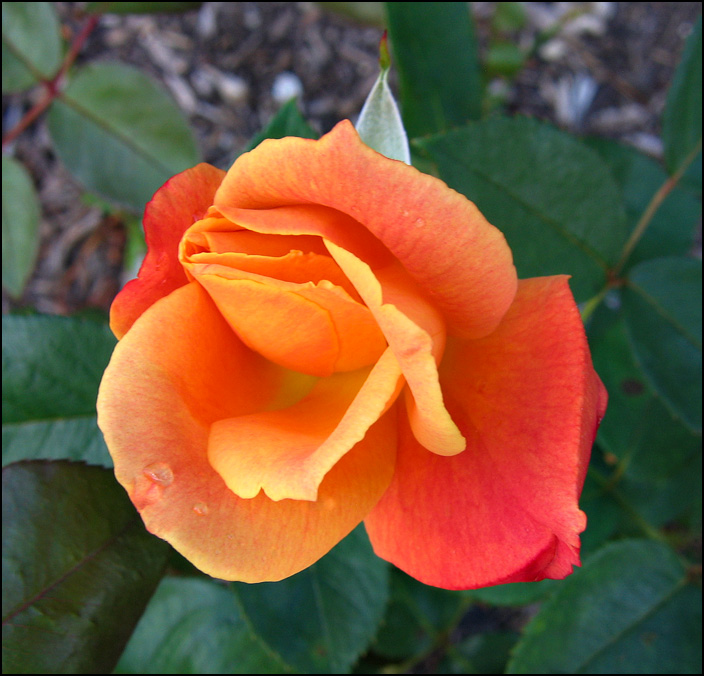 An orange rose flower at the Lakeside Park Rose Gardens in Fort Wayne, Indiana.