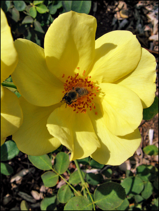 A honeybee in the middle of a yellow wild rose flower at the Lakeside Park Rose Gardens in Fort Wayne, Indiana.