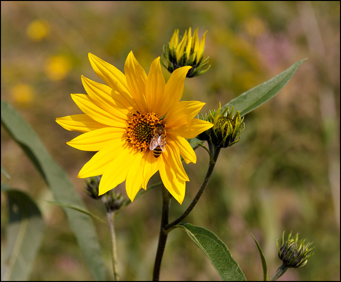 A honeybee visiting a wild sunflower at the Eagle Marsh restored wetland in Allen County, Indiana.
