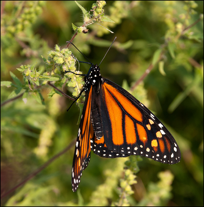 The top of a monarch butterfly with its beautiful orange and black wings open. It is hanging on a plant at the Eagle Marsh restored wetland in Allen County, Indiana.