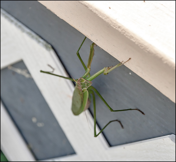 A green praying mantis climbing up the side of the wooden deck next to my house. It is looking up at the camera.