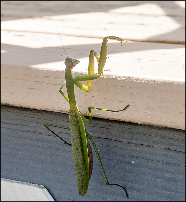 A green praying mantis climbing up the side of the wooden deck next to my house.