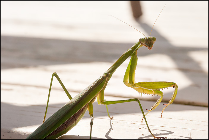 A green praying mantis standing on the wooden patio deck next to my house.