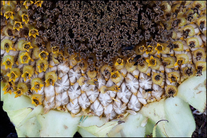 Closeup view of the tiny yellow flowers in the center of a sunflower head. Some of the flowers have fallen off, revealing white seeds.