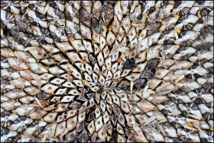 Closeup view of the cluster of white seeds in the center of a sunflower head.