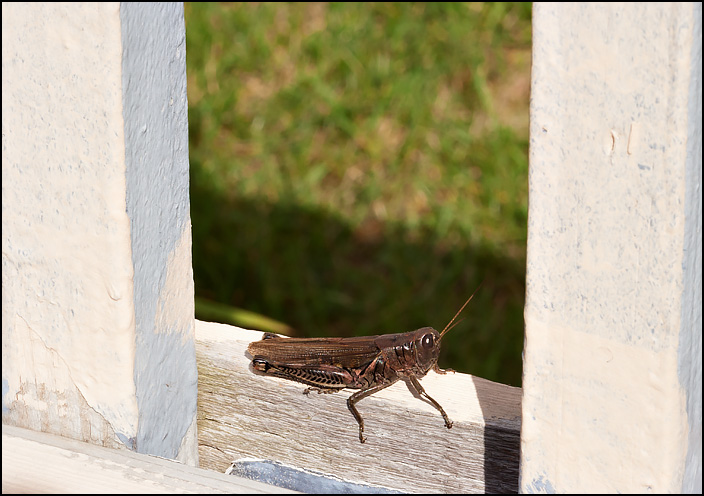 A grasshopper sitting in the sun on the rail around a wooden deck.