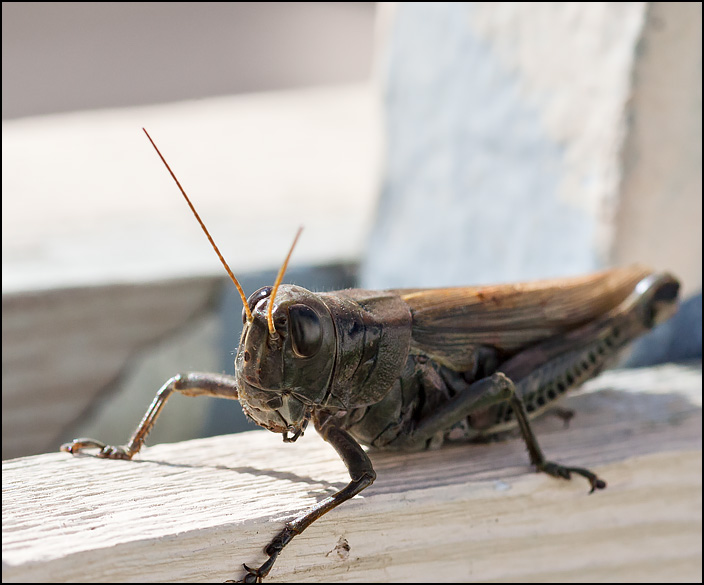 A close-up photograph of a grasshopper looking at me.