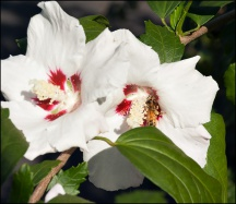 Rose of Sharon #6