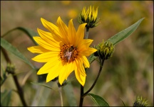 Wild Sunflowers #4