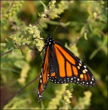 Monarch Butterfly #3
