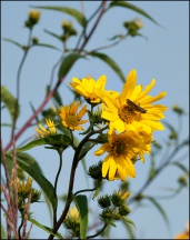 Wild Sunflowers #2