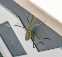 Praying Mantis #1